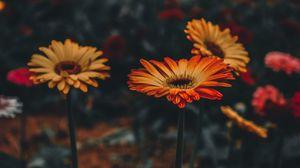 Preview wallpaper gerbera, flower, blur, stem