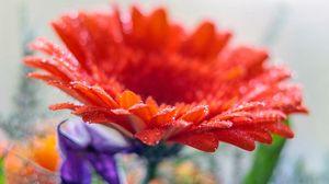 Preview wallpaper gerbera, flower, drops, macro