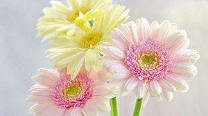 Preview wallpaper gerbera, flowers, bouquet, drop, freshness, tenderness