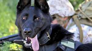 Preview wallpaper german shepherd, dog, military, protruding tongue