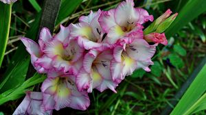 Preview wallpaper gladiolus, flower, green, close-up