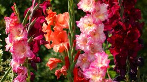 Preview wallpaper gladiolus, flowers, bright, flowerbed, light