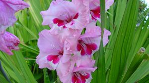 Preview wallpaper gladiolus, flowers, leaves