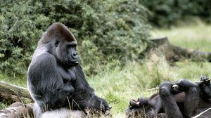 Preview wallpaper gorilla, africa, grass