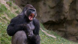 Preview wallpaper gorilla, black, monkey