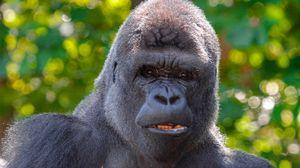 Preview wallpaper gorilla, black, primate, glance, animal