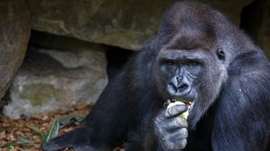 Preview wallpaper gorilla, eating, sitting, snout