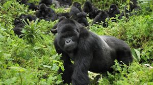 Preview wallpaper gorilla, grass, trees, walk
