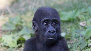 Preview wallpaper gorilla, monkey, baby, muzzle