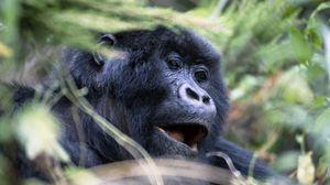Preview wallpaper gorilla, monkey, face, eyes