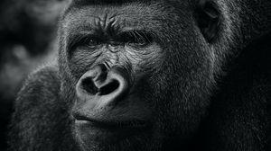 Preview wallpaper gorilla, primate, animal, black