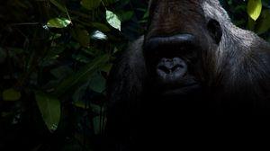 Preview wallpaper gorilla, shadow, sit