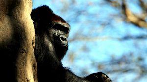 Preview wallpaper gorilla, wood, hide, monkey, huge