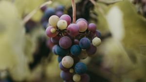 Preview wallpaper grapes, bunch, berries, branch, macro