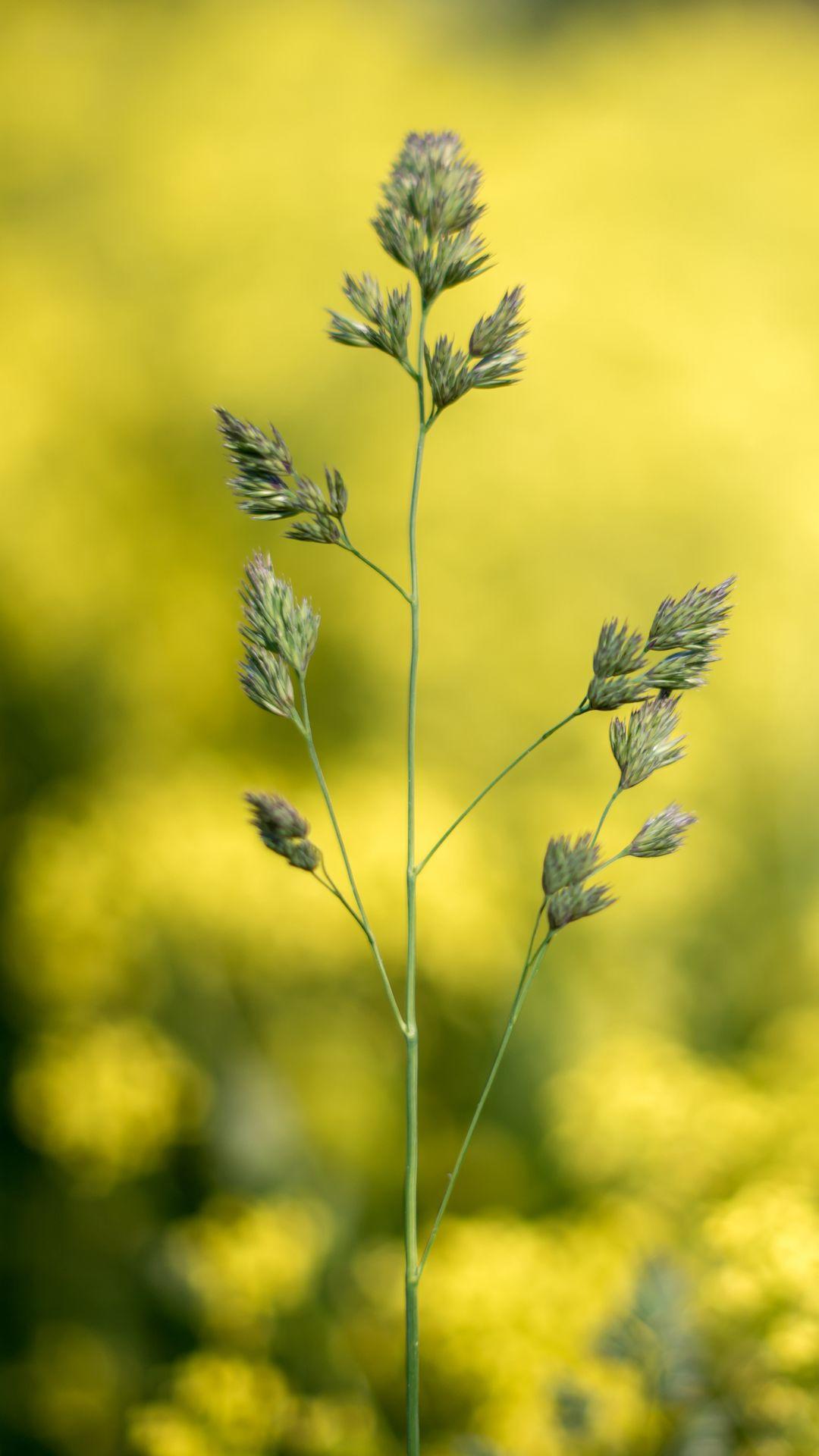 1080x1920 Wallpaper grass, plant, macro, inflorescence, closeup