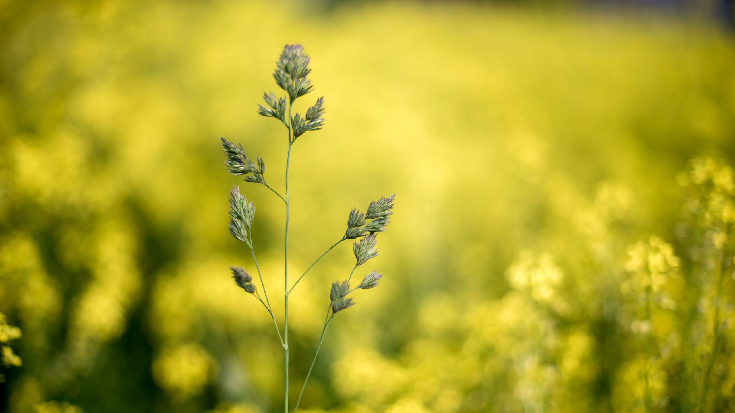 2560x1440 Wallpaper grass, plant, macro, inflorescence, closeup