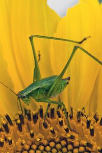Preview wallpaper grasshopper, sunflower, insect