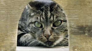 Preview wallpaper gray, tabby, cat, eyes, green