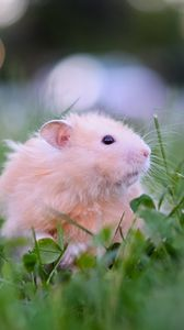Preview wallpaper hamster, tea party, game, grass
