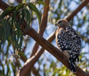 Preview wallpaper hawk, bird, branches, wildlife