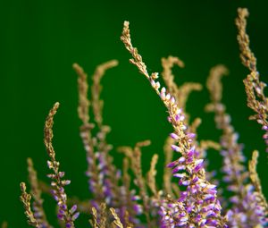 Preview wallpaper heather, flowers, plant, macro, purple