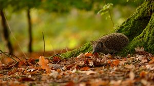 Preview wallpaper hedgehog, animal, leaves, autumn, trees, moss