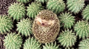 Preview wallpaper hedgehog, cactus, spines, lie