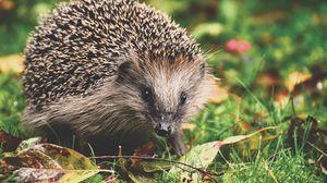 Preview wallpaper hedgehog, foliage, autumn