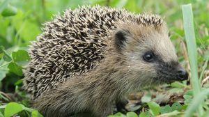 Preview wallpaper hedgehog, grass, muzzle, spikes