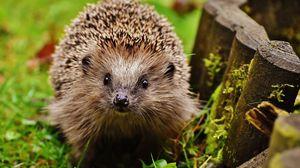 Preview wallpaper hedgehog, grass, thorn, glance