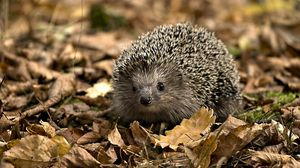 Preview wallpaper hedgehog, grasses, leaves, autumn, spines