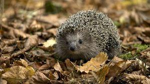 Preview wallpaper hedgehog, leaves, autumn, grass