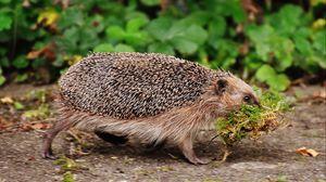 Preview wallpaper hedgehog, moss, walk, thorns