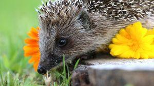 Preview wallpaper hedgehog, spines, flower