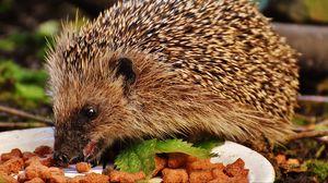 Preview wallpaper hedgehog, spines, food