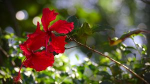Preview wallpaper hibiscus, flowers, red, plant