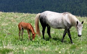 Preview wallpaper horse, stallion, baby, grass, field, walking, eating