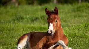 Preview wallpaper horse, stallion, grass, lie