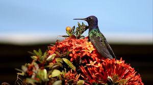 Preview wallpaper hummingbird, bird, flowers