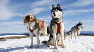 Preview wallpaper husky, couple, dogs, snow, alaska