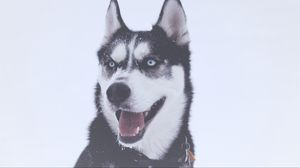 Preview wallpaper husky, dog, muzzle, blue-eyed