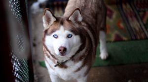 Preview wallpaper husky, dog, muzzle, eyes, collar