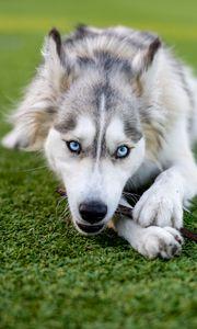 Preview wallpaper husky, dog, pet, play