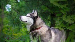 Preview wallpaper husky, grass, dog, walk