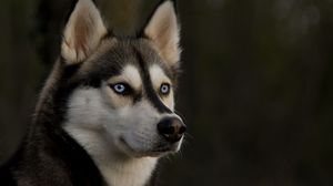 Preview wallpaper husky, muzzle, dog, eyes