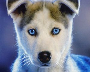 Preview wallpaper husky, puppy, blue-eyed, baby