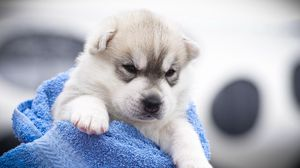 Preview wallpaper husky, puppy, snout, angry, spotted
