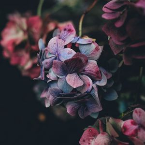 Preview wallpaper hydrangea, bush, petals, red, blue