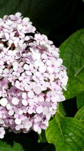 Preview wallpaper hydrangea, flowers, petals, leaves, pink, macro