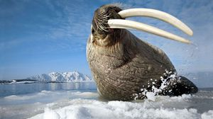 Preview wallpaper ice, tusks, walrus, mountain, spray